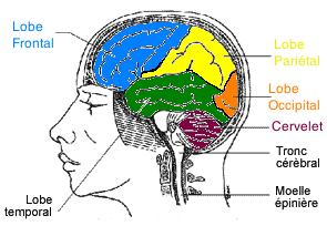 lobes, hyperactivité, ostéopathe