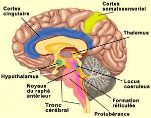 Raphé-sérotonine